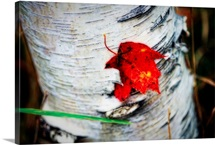 Red Leaf Caught in Bark