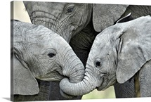 African elephant calves (Loxodonta africana) holding trunks, Tanzania