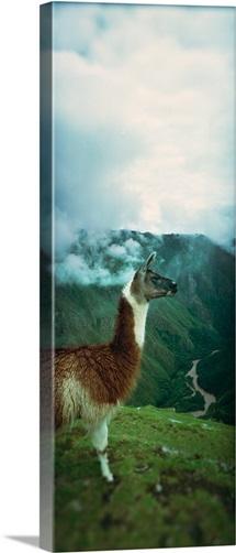 Alpaca Vicugna pacos on a mountain Machu Picchu Cusco Region Peru