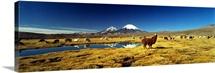 Alpacas & Llamas Andes Chile