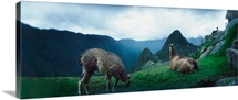 Alpacas Vicugna pacos in a field with mountains in the background Machu Picchu Cusco Region Peru