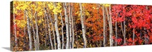 Aspen and Black Hawthorn trees in a forest, Grand Teton National Park, Wyoming