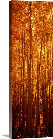 Aspen trees at sunrise in autumn, Colorado