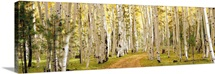 Aspen trees in a forest, Dixie National Forest, Utah