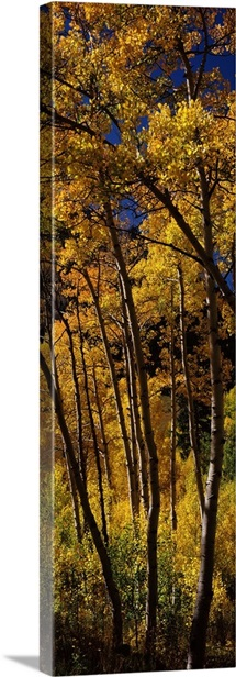 Aspen trees in autumn, Colorado,