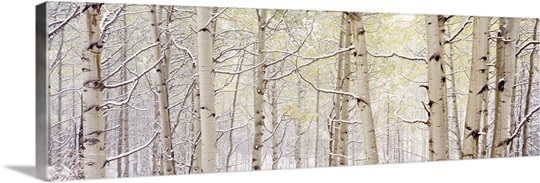 Autumn Aspens With Snow CO
