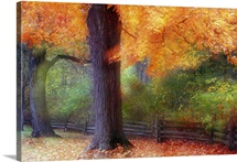 Autumn color maple trees by fence line, soft focus, Michigan