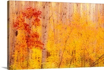 Autumn Forest w/Birch Trees Canada