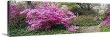 Azalea flowers in a garden, Garden of Eden, Ladew Topiary Gardens, Monkton, Baltimore County, Maryland