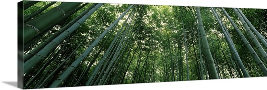 Bamboo trees, Arashiyama, Kyoto Prefecture, Kinki Region, Honshu, Japan