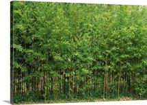 Bamboo trees in a forest, Fukuoka, Kyushu, Japan