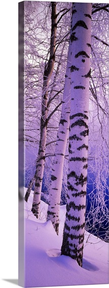 Birch trees at the frozen riverside, Vuoksi River, Imatra, Finland