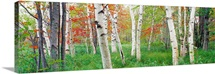 Birch trees in a forest, Acadia National Park, Hancock County, Maine