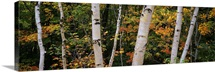 Birch trees in a forest, New Hampshire