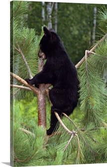 Black bear cub climbing in pine tree, Minnesota
