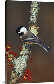 Black-capped chickadee bird on tree branch with berries, Michigan
