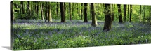 Bluebells in a forest, Micheldever Wood, Hampshire, England
