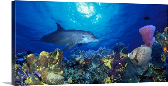 Bottle Nosed dolphin (Tursiops truncatus) and Gray angelfish (Pomacanthus arcuatus) on coral reef in the sea