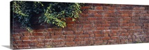 Brick Wall with Ivy UK