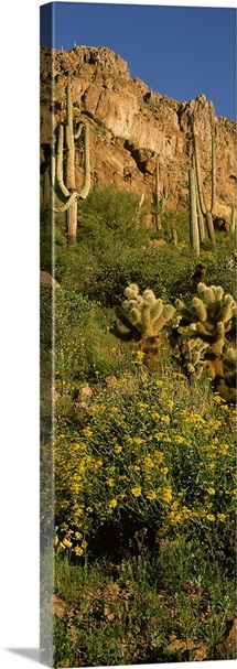 Brittlebushes with mountain in the background, Sonoran Desert, Arizona