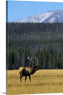 Bull Elk In Grass