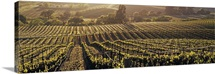 California, Careros Valley, Aerial view of rows crop in a vineyard