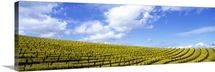 California, Napa Valley, mustard