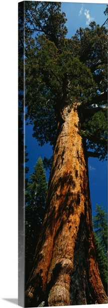 California, redwood, Grizzly Giant