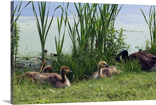 Canada geese (Branta canadensis) and goslings at the edge of pond, New York