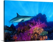 Caribbean Reef shark (Carcharhinus perezi) and Soft corals in the ocean