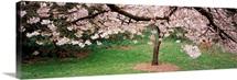 Cherry Blossom tree in a park, Golden Gate Park, San Francisco, California