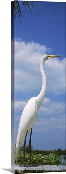 Close-up of a Great egret (Ardea alba) perching, Gulf Of Mexico, Florida