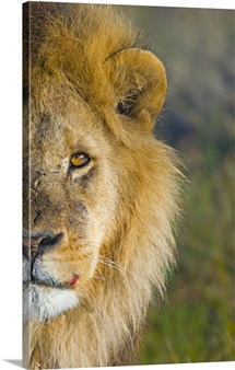 Close-up of a lion, Ngorongoro Conservation Area, Arusha Region, Tanzania (Panthera leo)