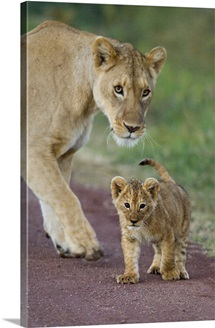 Close-up of a lioness and her cub, Ngorongoro Crater, Ngorongoro Conservation Area, Tanzania (Panthera leo)