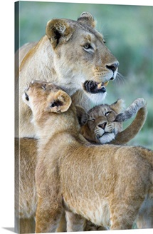 Close-up of a lioness and her two cubs, Ngorongoro Crater, Ngorongoro Conservation Area, Tanzania (Panthera leo)