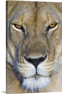 Close-up of a lioness, Masai Mara National Reserve, Kenya (Panthera leo)