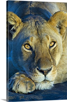 Close-up of a lioness, Ngorongoro Conservation Area, Arusha Region, Tanzania (Panthera leo)