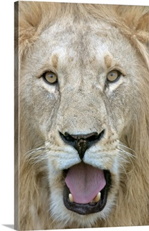 Close-up of a male lion