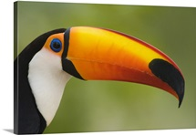 Close up of a Toco toucan Ramphastos toco Three Brothers River Meeting of the Waters State Park Pantanal Wetlands Brazil