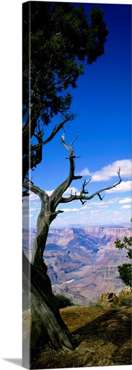 Close-up of a tree at the edge of a canyon, Grand Canyon National Park, Arizona