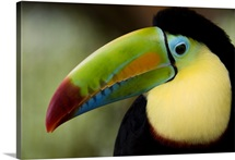 Close up of Keel Billed toucan (Ramphastos sulfuratus), Costa Rica