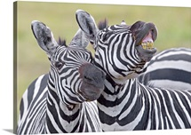 Close-up of two zebras, Ngorongoro Crater, Ngorongoro Conservation Area, Tanzania