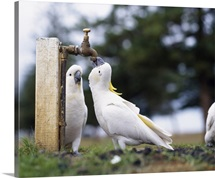 Cockatoos Drinking From Tap Australia