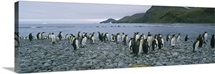 Colony of King penguins on the beach, South Georgia Island, Antarctica