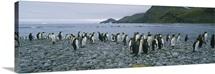 Colony of King penguins on the beach, South Georgia Island, Antarctica