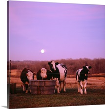 Cows at sunset Delano Minnesota