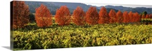 Crop in a vineyard, Napa Valley, California,