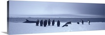 Emperor Penguins Ross Sea Antarctica
