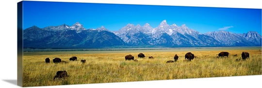 Field of Bison with mountains in background, Grand Teton National Park, Wyoming