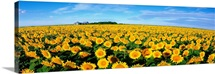 Field of Sunflowers Kansas
